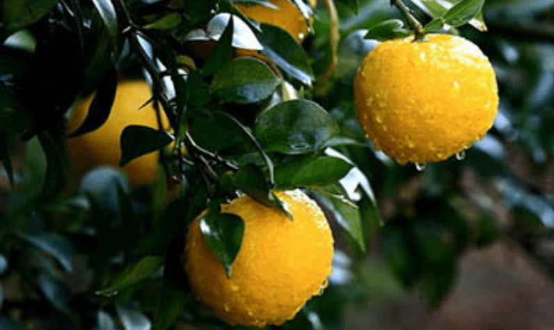 Fotografia de fruta Cidro
