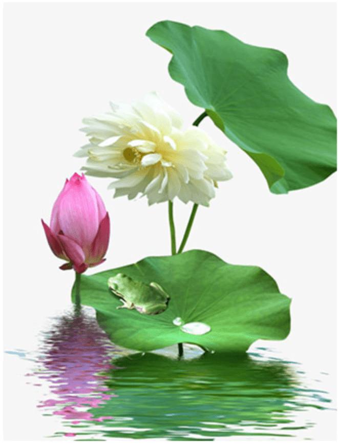 Fotografía de la flor de loto, ingrediente del THELAVICOS Suvia Lotus Blooming Toner